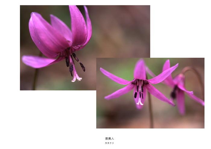 24 紫美人.jpg